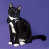 Gato blanco y negro en la corbata de lazo que se sienta en azul Imagenes de archivo