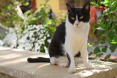 Gato blanco y negro enmascarado fotos de archivo
