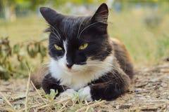 Gato blanco y negro hermoso que miente en la hierba imagenes de archivo