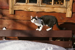 Gato blanco y negro, invierno afuera fotos de archivo