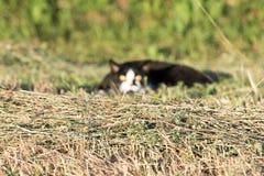 Gato blanco y negro listo para atacar ojos del amarillo Imagen de archivo libre de regalías