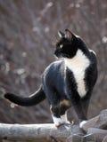 Gato blanco y negro que camina en la cerca de carril Fotografía de archivo