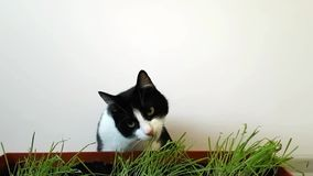 Gato blanco y negro que come la hierba brotada contra una pared blanca almacen de video