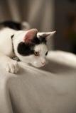 Gato blanco y negro que está al acecho Imagen de archivo libre de regalías