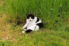 Gato blanco y negro que se asolea en hierba Imagen de archivo libre de regalías