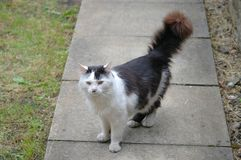 Gato blanco y negro struting abajo de la trayectoria del jardín Fotos de archivo libres de regalías