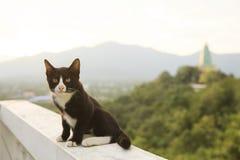 Gato blanco y negro tailandés precioso que se sienta en terraza contra beaut Imagen de archivo libre de regalías