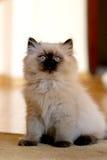 Gato bonito Imagem de Stock Royalty Free
