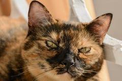 Gato bonito alaranjado & preto com cara interessante foto de stock royalty free