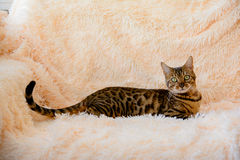 Gato bonito bonito de Bengal no tapete Imagens de Stock