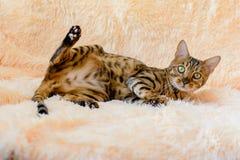 Gato bonito bonito de Bengal no tapete Fotografia de Stock Royalty Free