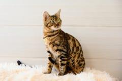 Gato bonito bonito de Bengal no tapete Fotos de Stock