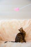 Gato bonito bonito de Bengal no tapete Imagem de Stock Royalty Free