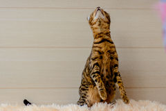 Gato bonito bonito de Bengal no tapete Imagem de Stock
