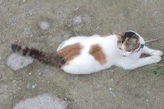 Gato bonito branco ao sul de Tailândia Imagens de Stock Royalty Free