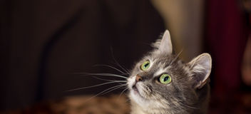 Gato bonito cinzento Fotos de Stock Royalty Free