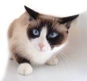 Gato bonito com o sapato de neve da raça dos olhos azuis Foto de Stock