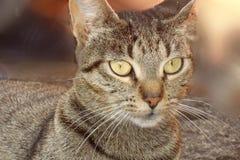 Gato bonito com olhos amarelos Foto de Stock Royalty Free