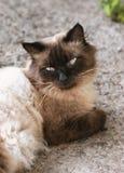 Gato bonito com olhos azuis Imagens de Stock Royalty Free
