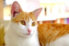 Gato bonito com olhos largos Imagens de Stock Royalty Free