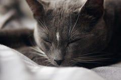 Gato bonito da casa cinzenta que dorme sadiamente imagem de stock
