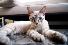 Gato bonito da vaquinha Imagem de Stock
