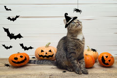 Gato bonito das listras em um chapéu das bruxas com abóboras, aranhas e bastão Fotos de Stock