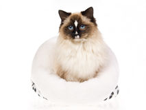 Gato bonito de Ragdoll en la cama blanca de la piel Fotografía de archivo