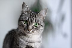 Gato bonito de Shorthair do americano com olhos verdes Foto de Stock Royalty Free