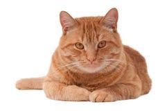 Gato bonito del jengibre Imagenes de archivo