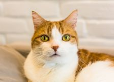 Gato bonito do gengibre com expressão séria Imagem de Stock