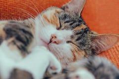 Gato bonito do sono Foto de Stock