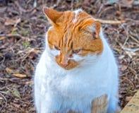Gato bonito grande do gengibre Fotografia de Stock