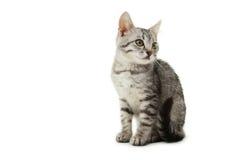 Gato bonito isolado no fundo branco Imagens de Stock Royalty Free