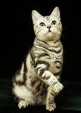 Gato bonito na obscuridade Imagem de Stock Royalty Free