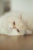 Gato bonito no assoalho Fotos de Stock Royalty Free