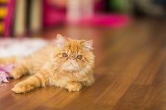 Gato bonito no assoalho Imagens de Stock Royalty Free