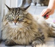 Gato bonito no tempo de escovadela, raça siberian Imagens de Stock
