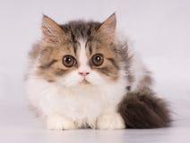 Gato bonito persa que olha com medo na câmera isolada no fundo branco imagens de stock