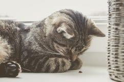 Gato bonito que joga com joaninha O gato de gato malhado encontra-se na janela e dorme-se Fotos de Stock