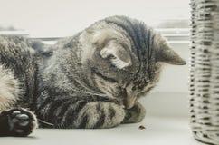 Gato bonito que joga com joaninha O gato de gato malhado encontra-se na janela e dorme-se Fotos de Stock Royalty Free