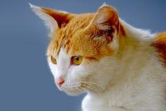 Gato bonito que olha a parte dianteira Imagem de Stock