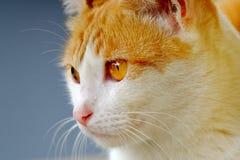 Gato bonito que olha a parte dianteira Foto de Stock