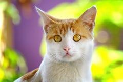 Gato bonito que olha a parte dianteira com olhar afiado e sério Fotos de Stock