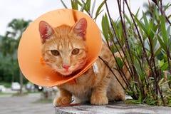Gato bonito que veste o colar plástico alaranjado do cone Imagem de Stock
