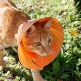 Gato bonito que veste o colar plástico alaranjado do cone Imagens de Stock Royalty Free