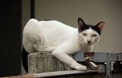 Gato branco Imagens de Stock Royalty Free