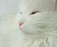 Gato branco. Imagens de Stock Royalty Free