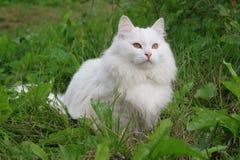 Gato branco Foto de Stock Royalty Free