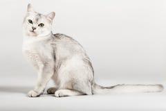Gato branco fotografia de stock royalty free